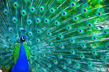 паун peacocking